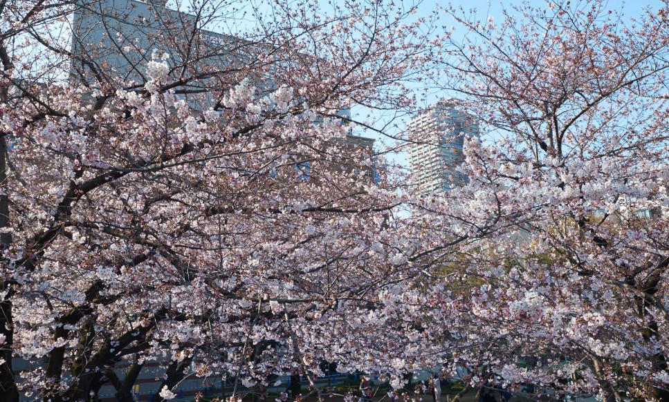 裏日本橋桜祭り開催! 2019年3月31日(日)